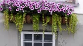 приукрашивание : Decorated balcony of the house.. Flowerbed of flowers of morning glory, gramophone