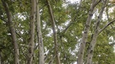 longevity : Large old sycamore tree. France Stock Footage