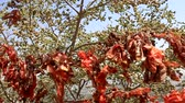 bo : sacred tree with red handkerchiefs from the pilgrims Stok Video