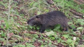 bóbr : nutria (Myocastor coypus) eats green vegetation in the meadow
