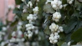 パークランド : Autumn in the city. Waxberry (Symphoricarpos albus) beautiful fruits, whips round white berries in abundance, passers-by and cars moving past. Decorative bush, city gardening 動画素材