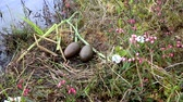 ekologia : Birds nests guide. Nest of red-throated Loon (Gavia stellata) on swampy lake. Nest at waters edge, surrounded by flowering cloudberry (Rubus chamaemorus), bog rosemary (Andromeda polifolia). Lapland