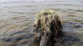 mew : Birds nests guide. Amazing Seagull (Common Gull, Larus canus) nest on a stump that stands in the water Stock Footage