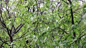 arbre cerisier : Spring in the North. Bird cherry (Glossy Black Chokecherry, Prunus padus) blossoms profusely in the city on rainy days, so-called foam of white flowers, springtide