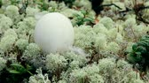 vysedět : Guide to bird nests. The egg of the wild goose (Bean goose, Anser fabalis) lies on the carpet of white elegant deer moss in the pine forest. Dostupné videozáznamy