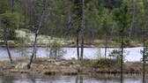 sutil : Swan on the shore of a forest lake. Lapland
