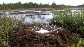 hattyú : Birds nests guide. Whooper swan (Cygnus cygnus) moss nest on the marsh island is surrounded by dwarf birch, lot of down and four large eggs. Severe Lapland. Wiring camera from nest to waters edge