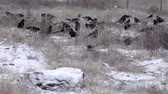 high speed camera : Rooks during the winter. A flock of rooks fed on a snow-covered fallow field. Super slow motion 1000 fps