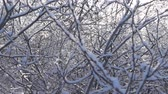 emaranhado : A gust of wind knocks down the snow in the thick interlacing branches. Super slow motion 1000 fps Stock Footage