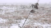 dondurucu : Winter Prairie with dry vegetation, snow, fogg and frost