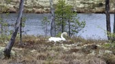 ninhada : Whooper swan (Cygnus cygnus sitting on a nest on the island of forest lake in the boreal forests of Lapland. Turning of eggs during incubation, nesting behavior of birds Stock Footage