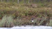 vadio : The Red-throated diver (Gavia stellata) in breeding plumage floats on a marsh lake in Lapland, a typical nesting site for this species of Loon