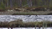 vadio : Two red-throated diver (Gavia stellata) swim in the overgrown lake among the taiga forests. Lapland. The low camera position (at the level of birds)
