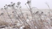 snow mantle : Winter Prairie with dry vegetation, snow, fogg and frost
