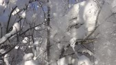 sektör : snow-covered trees and falling snow caps on snowbreak day. Super slow motion 1000 fps