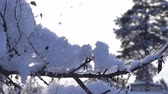 snow mantle : snow-covered trees and falling snow caps on snowbreak day. Super slow motion 1000 fps