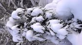snow mantle : snow-covered trees and falling snow caps on snowbreak day near the forest hut. Super slow motion 1000 fps. Vertical video