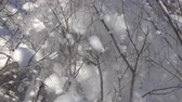 snow mantle : Moment when snow on branches too much and wind makes snowfall. Super slow motion 1000 fps Stock Footage