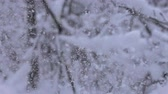 snow mantle : Colorful winter forest, moment when branch sags under weight of snow. Super slow motion 1000 fps