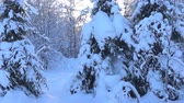 sektör : snow-covered trees and falling snow caps on snowbreak day. Super slow motion 1000 fps. Stok Video