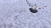 high speed camera : Pigeon flying in Park in city in winter in snow. All known city birds. Super slow motion 1000 fps. Top view