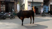 boynuzlu : India, Varanasi - March 20, 2018: bull stands right in the middle of the roadway. Sacred cows as they are Stok Video