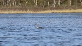 vadio : Loon, Red-throated diver (Gavia stellata) on the taiga river. Lapland Vídeos