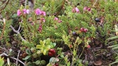 ling : Paradox of polar spring. Blooming black crowberry (Empetrum nigrum) and next crowberry berries and red cranberries (Vaccinium vitisidaea)- crop of last year in mountain tundra. Arctic biome Lapland