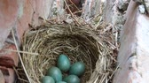 kanatlı : Nest with six eggs clutch of thrush - the Redwing (Turdus iliacus). Lapland
