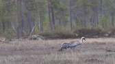 loyalty : Gray crane (Grus grus) walks in the swamp. Royal bird in Lapland in the conditions of the Scandinavian boreal forests. Nesting habitat of Common crane. Lapland Stock Footage