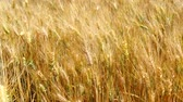 summer : Harvest of ripe wheat and ready to pick 4K