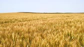 gwóżdź : Harvest of ripe wheat and ready to pick Barley Rye4K