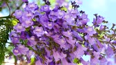 purple : Flowering Jacaranda Tree 4K