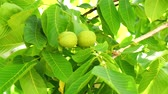 flavour : Unripe nuts on the tree 4K Stock Footage