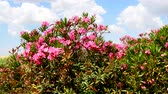 blossoming : Flowering Nerium oleander 4K Stock Footage
