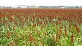 Sorghum field, named durra Also, jowari, or milo Stock Footage