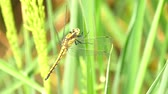 field : Dragonfly in a rice field (4K) Stock Footage
