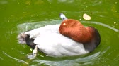 Netta peposaca, Rosy-billed pochard (4K)