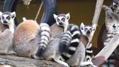 Lemur catta, Ring-tailed lemur (4K) Stock Footage