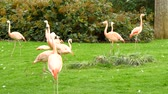 Group of flamingos in a prairie, Phoenicopterus chilensis Stock Footage