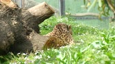 Cheetah resting lying on the grass, Acinonyx jubatus Stock Footage