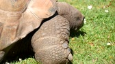 Giant turtle eating grass, Tortoise Aldabra giant