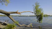 salgueiro : Willow tree branch over the Dnieper river blue waters, in Kiev, Ukraine, during a late summer day Stock Footage