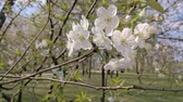 gomos : Wild cherry flowers under the warm spring sun, The branches with the white flowers are moved by the soft wind