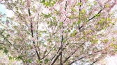 gomos : Nice pink Sakura Cherry Blossom flowers under the warm spring sun Stock Footage