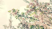 gomos : Nice pink Sakura Cherry Blossom flowers under the warm spring sun.  Vintage version Stock Footage