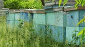koloni : 4K Close up shoot of beehives in grass Stok Video