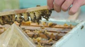 hornets : HD Close up view of beekeepers remove honeycomb with brood nests and bees on it