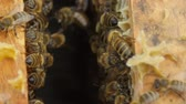 hornets : HD Close up view of bees in a hive on honeycomb