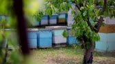 grano saraceno : HD Close up view of back of beehives view from behind a tree